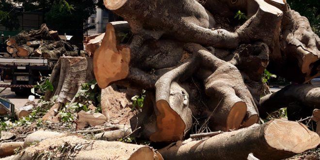 O que sobrou da árvore querida (Fotos José Pedro S.Martins)