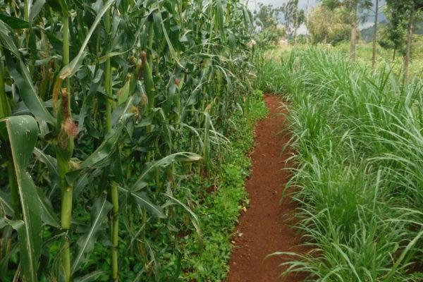 Na foto uma plantação de milho é possível observar o desmodio e o capim napier vivendo em harmonia (foto André Sarria)