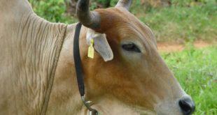 """Animal usando os colares contendo o """"cheio"""" do waterbuck. Na verdade os colares contêm os compostos químicos identificados pelos pesquisadores e que contribuem para formar o cheiro do waterbuck. Estes colares liberam os compostos e mantém as moscas para bem longe, protegendo o animal. (Fonte: Autores do trabalho)"""