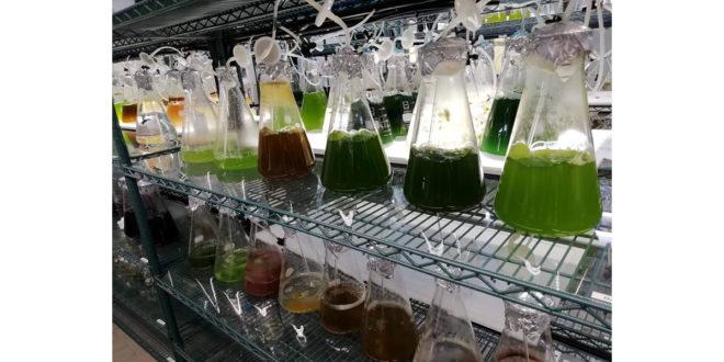 Algas em ácido
